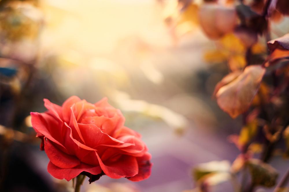 Regala una rosa, il significato dei colori